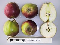 Cross section of Tellina, National Fruit Collection (acc. 1958-151).jpg