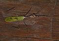 Cryptic Mantis (Sibylla pretiosa) (11481900263).jpg