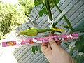 """Cucurbita pepo """"zapallo de Angola"""" semillería La Paulita - fruto día 00.-01 (AM02) pimpollo floral día anterior a la antesis.JPG"""
