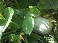 Cucurbitales - Cucurbita pepo - 6.jpg
