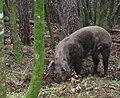 Cucuruzzu cochon sauvage 1.jpg