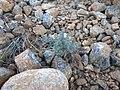 Cupressus stephensonii seedling - Flickr - theforestprimeval.jpg