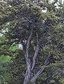 Curl-leaf mountain mahogany Cercocarpus ledifolius big bush.jpg