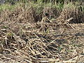 Cutting of sugar cane.JPG