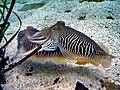 Cuttlefishbreeding.jpg