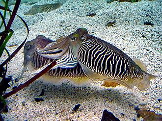 Common cuttlefish - The zebra striped pattern male cuttlefish display during breeding season