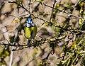 Cyanistes caeruleus in Rodez 04.jpg
