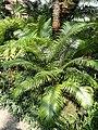 Cycas circinalis - Botanischer Garten München-Nymphenburg - DSC08065.JPG
