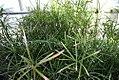 Cyperus alternifolius Gracilis 0zz.jpg