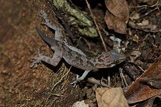 <i>Cyrtodactylus annulatus</i> species of reptile