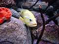 DSC26615, Monterey Bay Aquarium, California, USA (6101341969).jpg