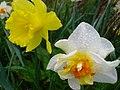 Daffodils Trumpeting the Joys of Spring. - panoramio.jpg