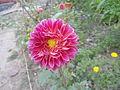 Dahlia pink in colour.JPG