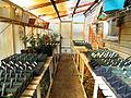 Dahlia starts in Greenhouse.jpg