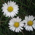 Daisy (Bellis perennis) The Oval Hastings. (3356112863).jpg