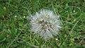 Dandelion Seed Head (9102089879).jpg