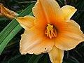 Daylilies in Bloom - 9432555368.jpg