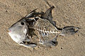 Dead fish on the beach.jpg