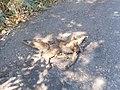 Dead fox.jpg