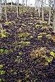 Deciduous plantation, Glendams - geograph.org.uk - 1091777.jpg