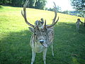 Deer velvet peels off.jpg