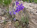 Delphinium bicolor (3625586495).jpg
