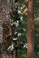 Dendrobium aemulum.jpg