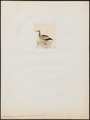 Dendrocygna autumnalis - 1820-1863 - Print - Iconographia Zoologica - Special Collections University of Amsterdam - UBA01 IZ17600263.tif