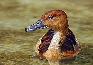 Fulvous whistling duck A species of bird in the family Anatidae, widespread in tropical wetlands