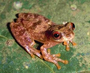 BIOPAT – Patrons for Biodiversity - Image: Dendropsophus joannae