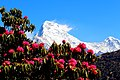Dense rhododendron forests with background of Machapuchare mountain.jpg