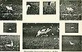 Der Ornithologische Beobachter (1917) (20675727788).jpg
