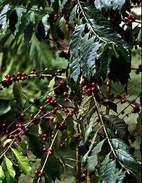 Planta de café en la zona de Los Yungas
