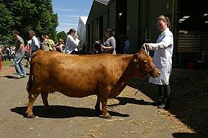 Dexter cattle - A Red Chondrodysplastic-Dwarf Dexter cow