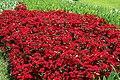 Dianthus chinensis Telstar Crimson 5zz.jpg