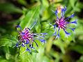 Die Berg-Flockenblume, Centaurea montana 01.jpg