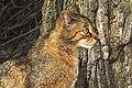 Die Wildkatze vor ihrem Kletterbaum.jpg