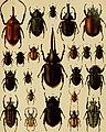 Die exotischen Käfer in Wort und Bild (1908) (20725546948).jpg
