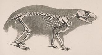 Alpine marmot - Skeleton
