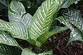 Dieffenbachia maculata Rudolph Roehrs 3zz.jpg