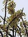 Dillenia pentagyna flowering by Dr. Raju Kasambe DSCN1362 (33).jpg