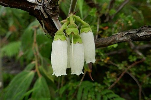 500px dimorphanthera amoena in inbg glasnevin dublin 02