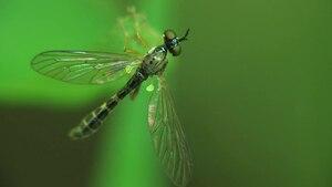 File:Dioctria linearis - 2012-07-24.ogv