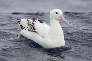 Gibson's albatross - Older bird