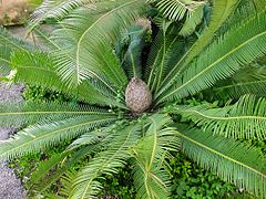 Dioon edule01.jpg