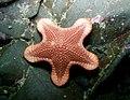 Diplodontias dilatatus (4458718469).jpg