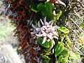 Diplolepis boerhaviifolia (Johow) Faúndez 9 (3943510698).jpg