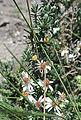 Diplostephium lavandulaefolium (13961702969).jpg