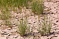 Distichlis spicata - Flickr - aspidoscelis (6).jpg