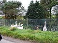 Domestic geese on pond at Brewthin - geograph.org.uk - 581603.jpg